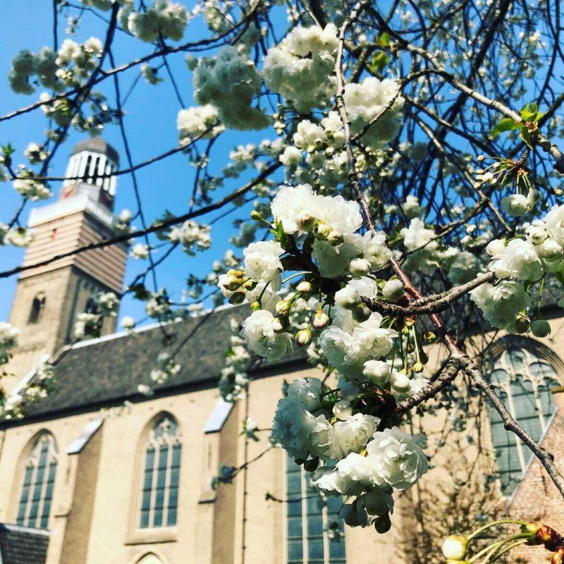 Bloesemboom voor Utrechtse kerk